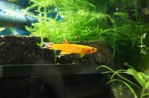 Ährenfisch - Männchen